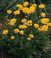 Photo of Bigflower Coreopsis (Coreopsis grandiflora 'Early Sunrise') uploaded by vic