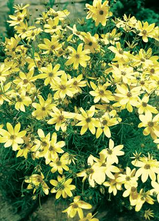 Photo of Threadleaf Coreopsis (Coreopsis verticillata 'Moonbeam') uploaded by vic