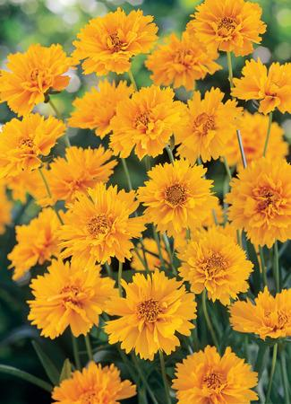 Photo of Bigflower Coreopsis (Coreopsis 'Early Sunrise') uploaded by vic