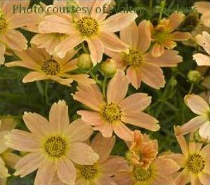 Photo of Tickseed (Coreopsis verticillata 'Sienna Sunset') uploaded by vic