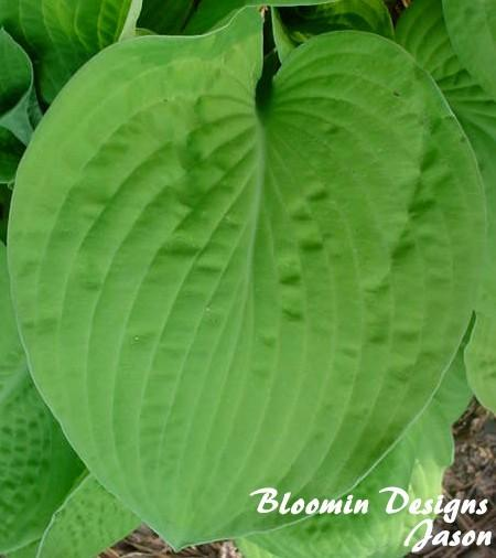 Photo of Hosta 'August Moon' uploaded by vic