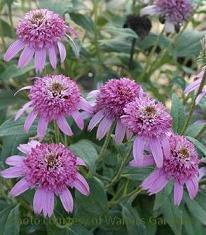 Photo of Coneflower (Echinacea 'Pink Double Delight') uploaded by vic