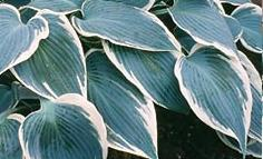Photo of Hosta 'El Nino' uploaded by vic