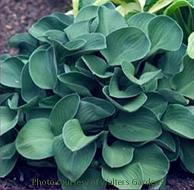 Photo of Hosta 'Blue Mouse Ears' uploaded by vic