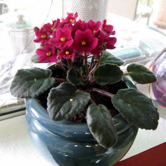 Photo of African Violets (Saintpaulia) uploaded by GardenGuyAZ