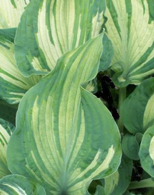Photo of Hosta 'Guardian Angel' uploaded by vic