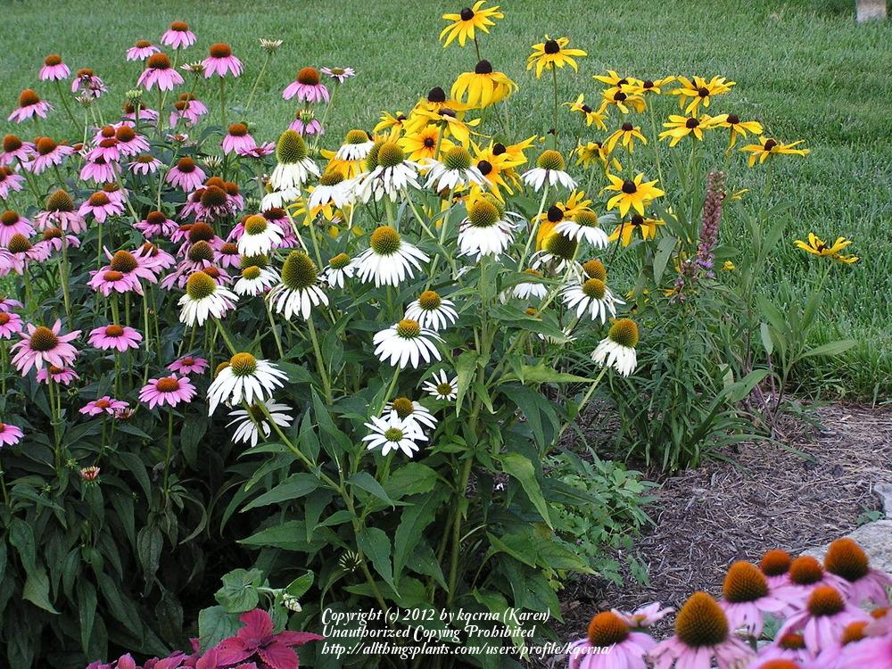 Cottage gardening forum echinacea coneflower which ones have thumb of 2012 01 22kqcrna29f711 mightylinksfo