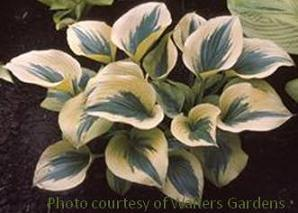 Photo of Hosta (Hosta 'Liberty') uploaded by vic