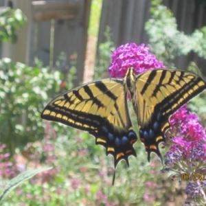 Tiger Swallowtail checking out the Butterfly Bush
