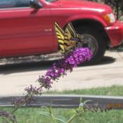 Location: Denver Metro, CODate: 2011-07-24A Tiger Swallowtail enjoying the bloom!
