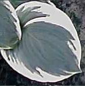 Photo of Hosta 'Snow Cap' uploaded by vic