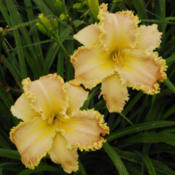 Photo courtesy of Thoroughbred Daylilies  Used with Permission