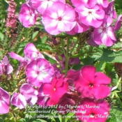 Location: My garden in KentuckyDate: 2006-06-24With Phlox 'Nicky'.