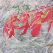 Location: Denver CO MetroDate: 2010-10-05Frost kissed leaves.. they're absolutely gorgeous.
