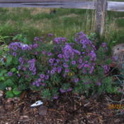 Location: Denver CO MetroDate: 2010-09-22This is actually 4 plants.  Yikes.  Same year as planted in the s