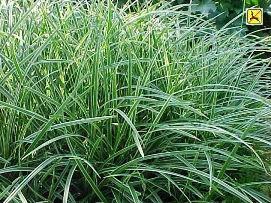 Photo of Japanese Grass Sedge (Carex morrowii 'Ice Dance') uploaded by vic