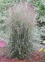 Photo of Feather Reed Grass (Calamagrostis x acutiflora 'Overdam') uploaded by vic