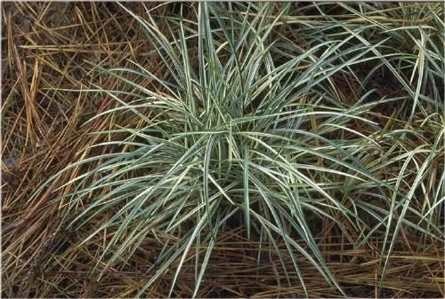 Photo of Variegated Mondo Grass (Ophiopogon japonicus 'Silver Mist') uploaded by vic