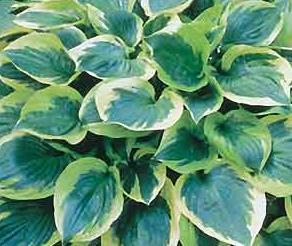 Photo of Hosta 'Twilight' uploaded by vic