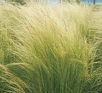 Photo of Mexican Feathergrass (Nassella tenuissima) uploaded by vic