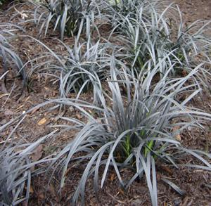 Photo of Black Mondo Grass (Ophiopogon planiscapus 'Nigrescens') uploaded by vic