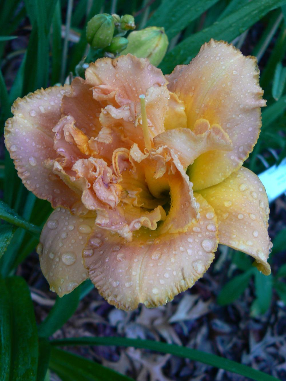 Photo of Daylily (Hemerocallis 'Solid Geometry') uploaded by annred97