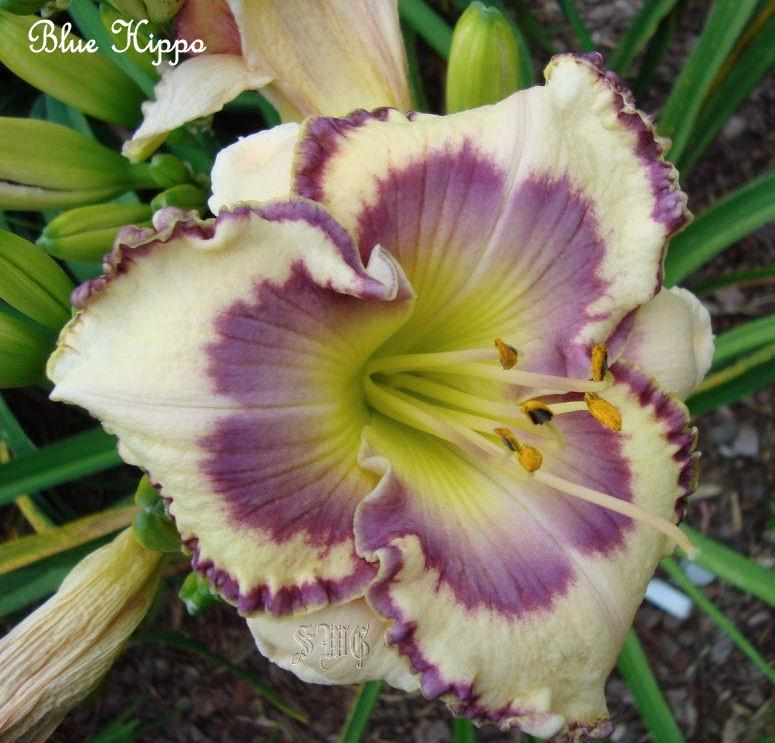 Photo of Daylily (Hemerocallis 'Blue Hippo') uploaded by mistyfog