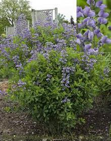 Photo of Wild Indigo (Baptisia 'Purple Smoke') uploaded by vic