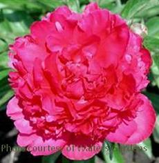Photo of Peony (Paeonia lactiflora 'Felix Crousse') uploaded by vic