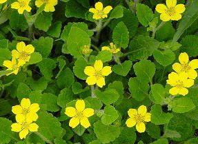 Photo of Green and Gold (Chrysogonum virginianum) uploaded by vic