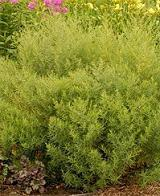 Photo of French Tarragon (Artemisia dracunculus 'Sativa') uploaded by vic