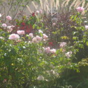 Location: Orlando, Central Florida, zone 9bDate: 2007-11-24Tea Rose Duchesse De Brabant
