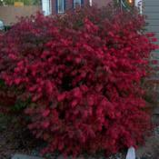 Location: Denver Metro, CODate: October 2009Burning Bush on the west side of my house.