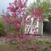 "Location: Denver Metro, CODate: Spring 2007Young ""clumping\"" Indian Summer crabapple"