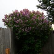 "Location: Denver Metro CODate: Spring 2007My ""big\"" common purple lilac from the front."