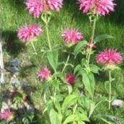 Location: Denver Metro CODate: 2009-07-17My bee balm.. smells SOOOOOOOOO wonderful