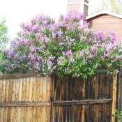 "Location: Denver Metro CODate: Spring 2007The top of my ""big\"" common purple lilac about 12' tal"
