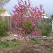 Location: Denver Metro, CODate: Spring 2007Young Indian Summer Crabapple