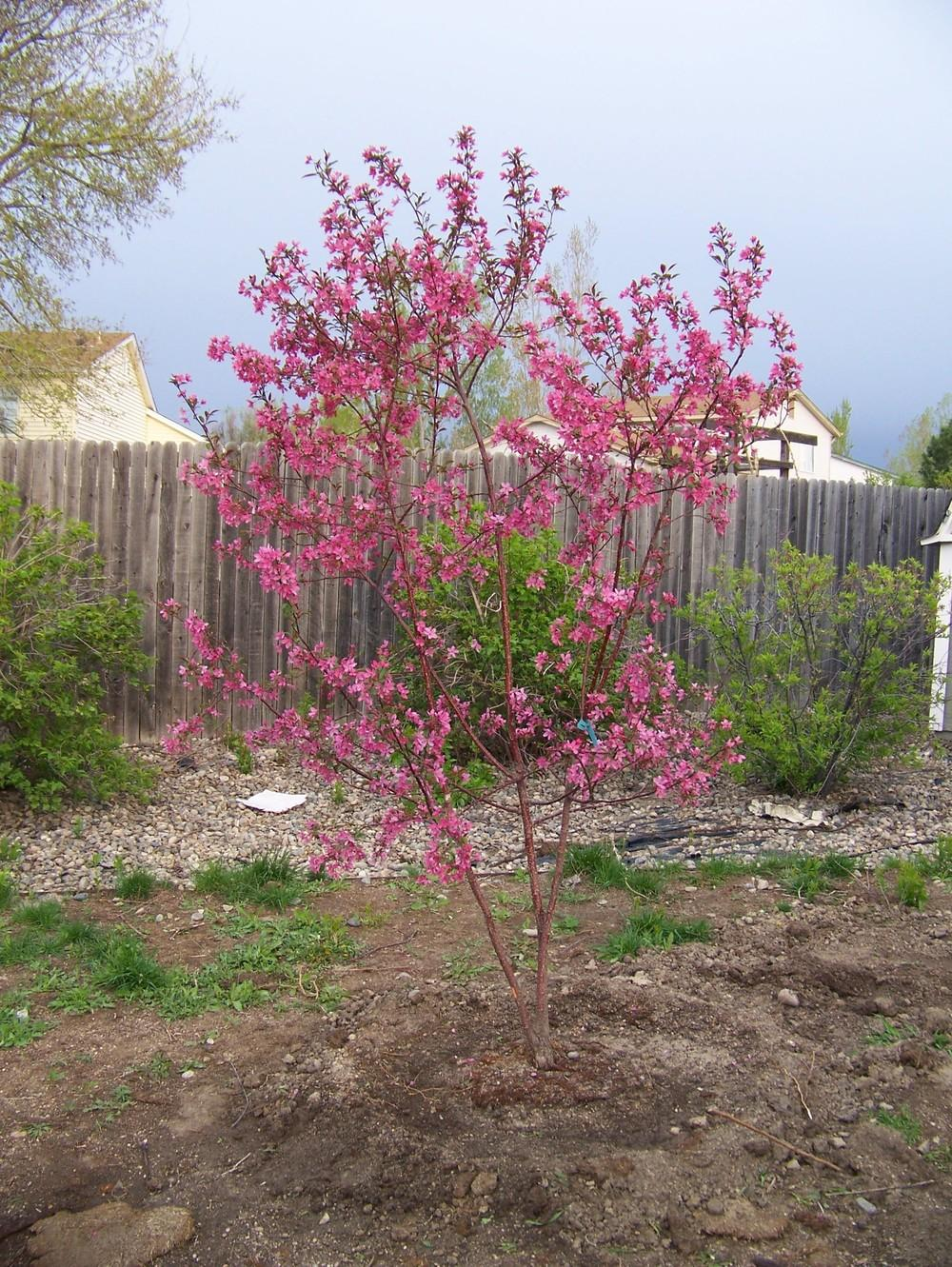 Photo of Flowering Crabapple (Malus 'Indian Summer') uploaded by Skiekitty