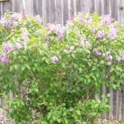 "Location: Denver Metro CODate: Spring 2007My ""small\"" common purple lilac about 5' tall"