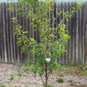 Location: Denver Metro, CODate: Spring 2007Young Montmorency cherry tree