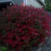 Location: Denver Metro CODate: October 2009Looking from the north side of my house my burning bush