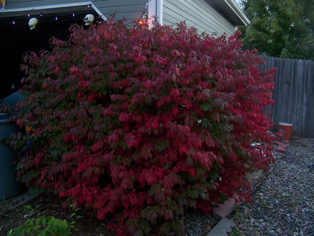 Photo of Dwarf Burning Bush (Euonymus alatus 'Compactus') uploaded by Skiekitty