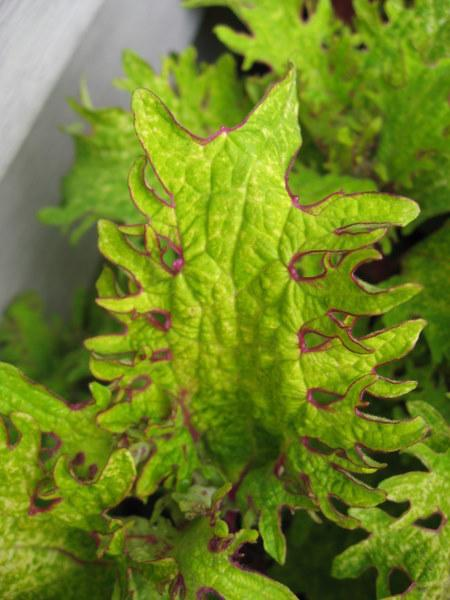 Photo of Coleus (Coleus scutellarioides 'Lemon Sunsation') uploaded by goldfinch4