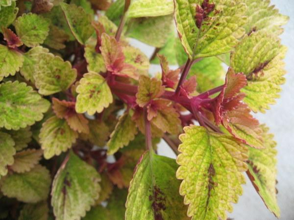 Photo of Coleus (Coleus scutellarioides 'Trailing Green Olives') uploaded by goldfinch4