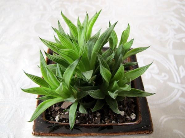 Photo of Haworthia mucronata var. mucronata uploaded by goldfinch4