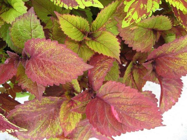 Photo of Coleus (Coleus scutellarioides ColorBlaze® Royal Glissade) uploaded by goldfinch4