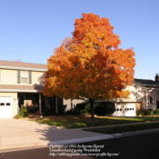 Location: My Cincinnati, Ohio gardenDate: October, 2009Sugar maple in fall