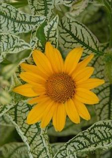 Photo of False Sunflower (Heliopsis helianthoides var. scabra Loraine Sunshine) uploaded by vic