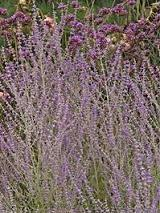 Photo of Russian Sage (Perovskia 'Little Spire') uploaded by vic